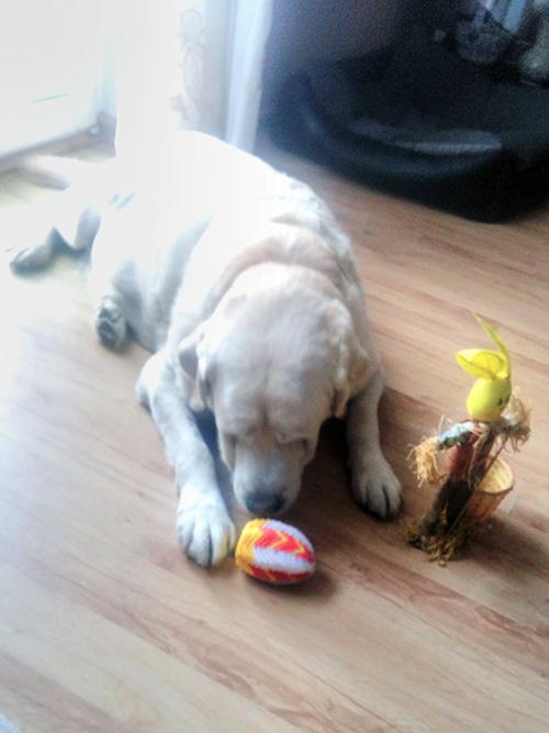 Labrador Madox w potrzebie