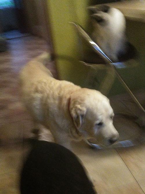 Madox, labrador w potrzebie
