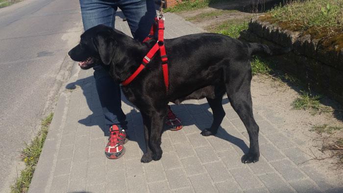 Labradorka Negra
