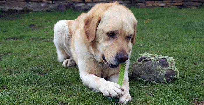 Labrador Sony w potrzebie