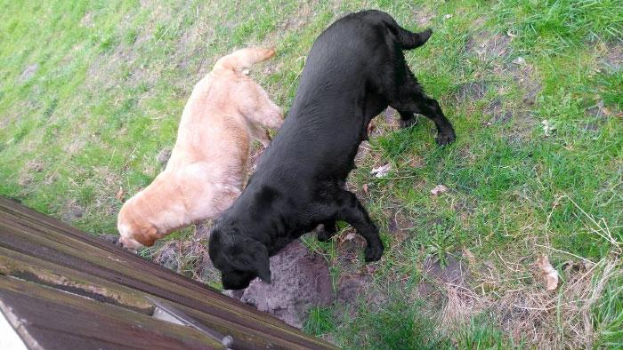 Labradorki