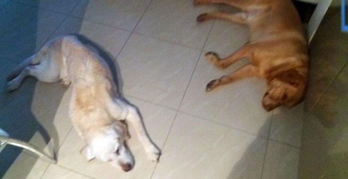 Hania, labradorka w potrzebie