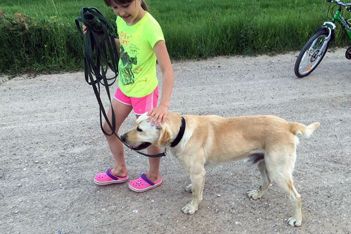 Dingo, labrador do adopcji