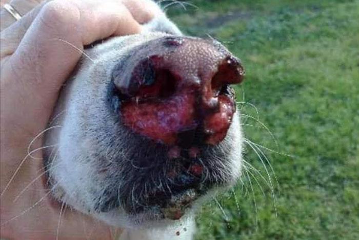 korowódka, uszkodzony nos psa