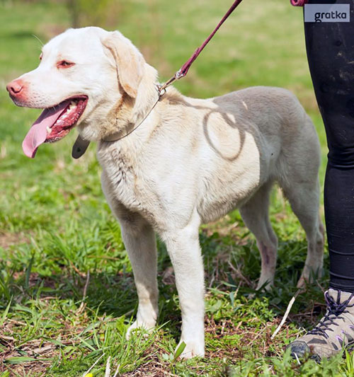 Monster, labrador do adopcji