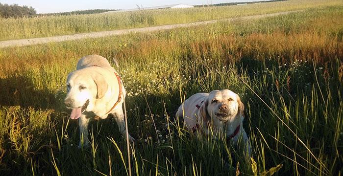 Labradorka Bunia
