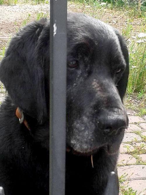 Labrador Korek w potrzebie