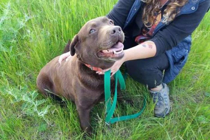 Malaga, labradorka do adopcji