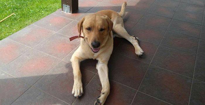 Labrador Aslan