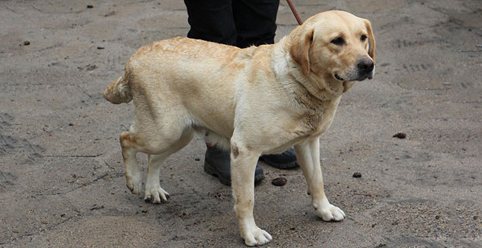 Diuna, labradorka w potrzebie