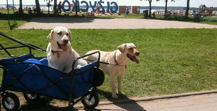 Labradory: Koni i Lizak