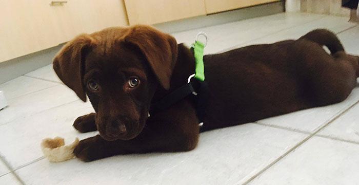 Leon, czekoladowy labradorek