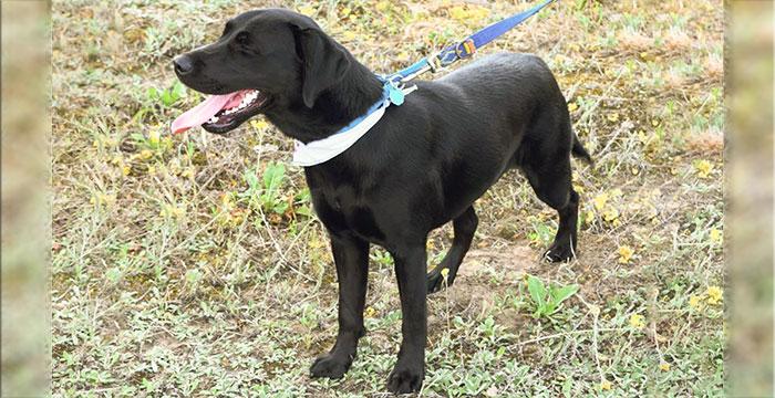 Rafa, labradorka do adopcji