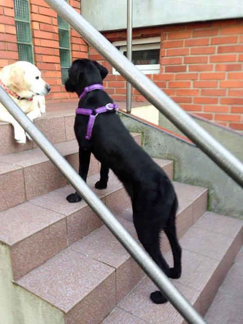 Rysia, labradorka do adopcji