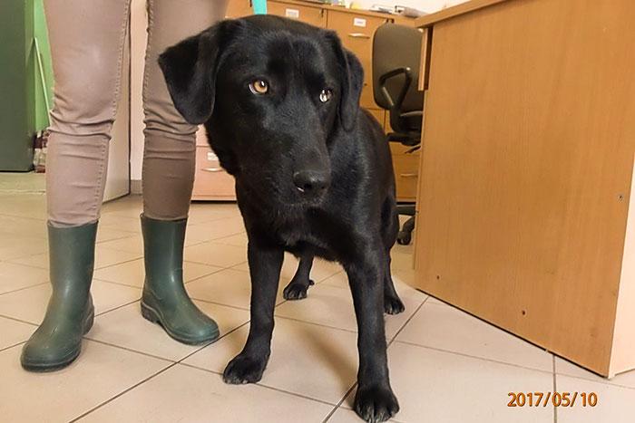 Szejla, labradorka do adopcji