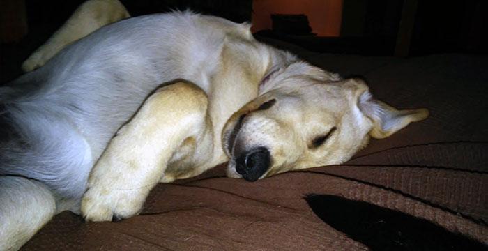 Labrador Buddy