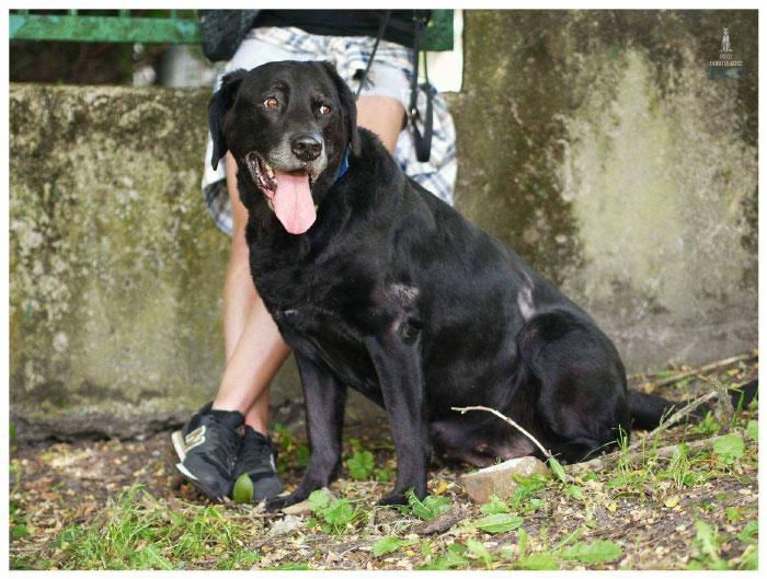 Fiona, labradorka do adopcji