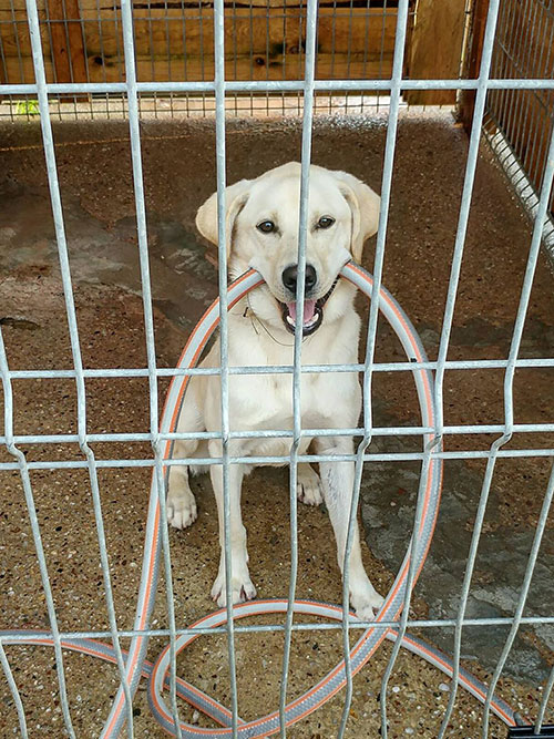Floki, labrador do adopcji