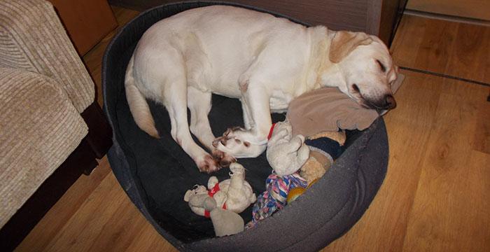 Lili, labradorka do adopcji