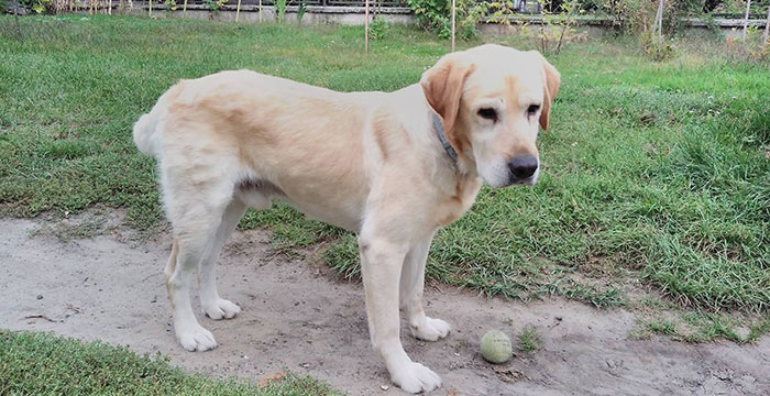 Lord, labrador do adopcji