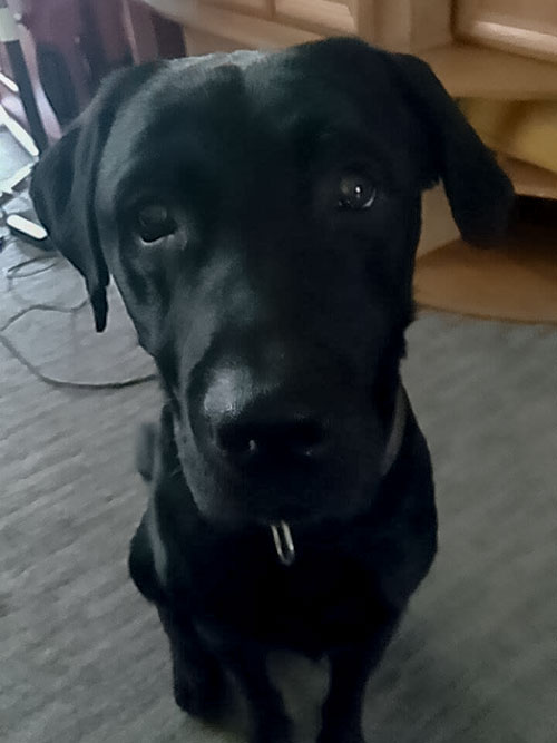 Poker, labrador do adopcji