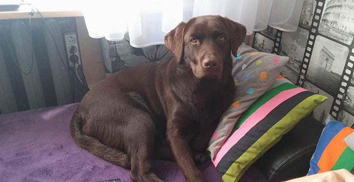 Labrador Quattro