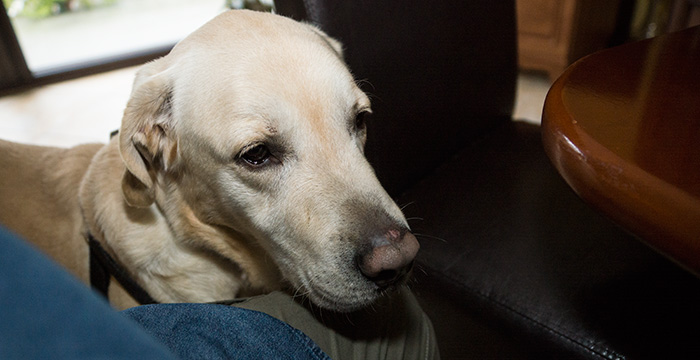 Labrador Leon