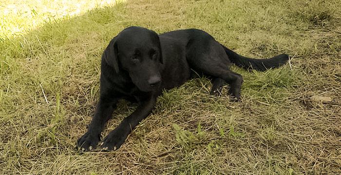 Ares, labrador do adopcji