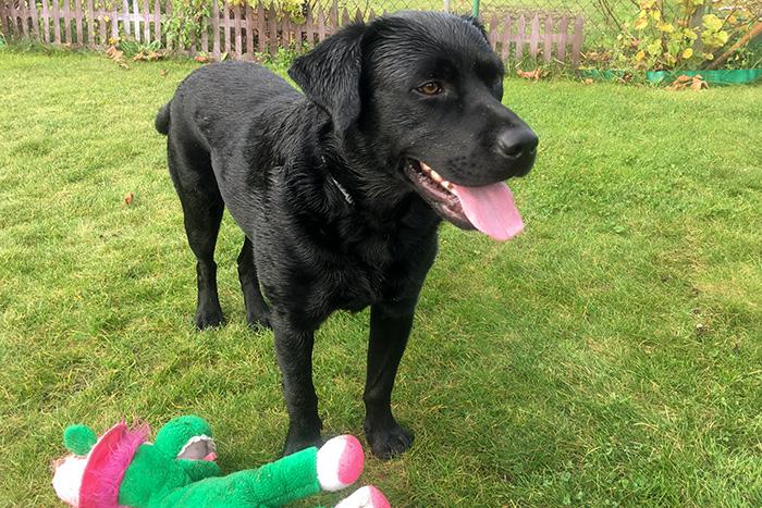 Labrador Borys