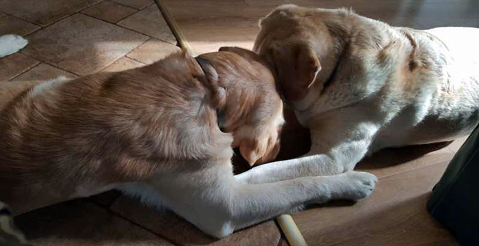 Niewidomy labrador Lord i Sonia
