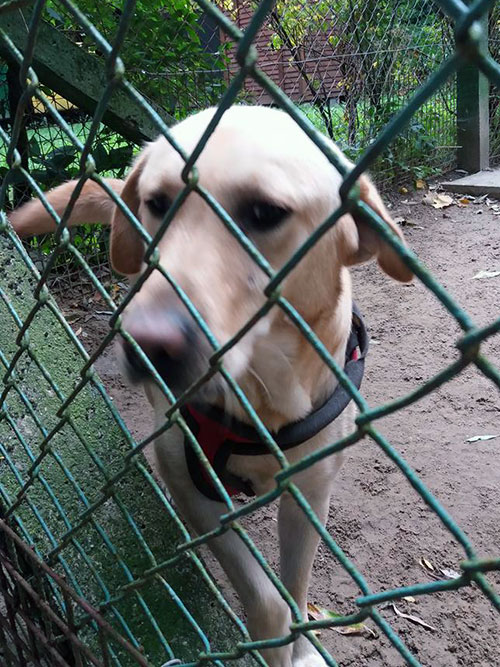 Tobi, labrador do adopcji