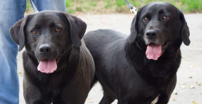 Bolek i Lolek, labradory do adopcji