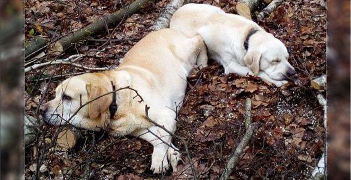 Labradory w potrzebie