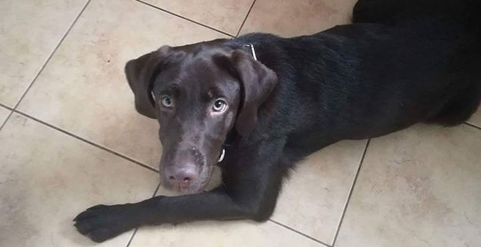 Labrador w potrzebie