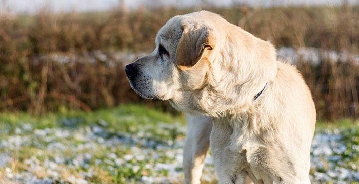 Labrador Buli do adopcji