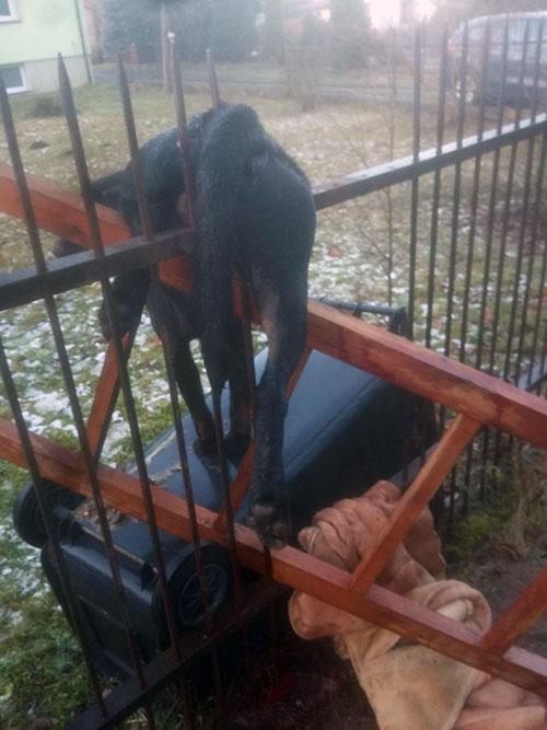 labrador i strzelanie petard