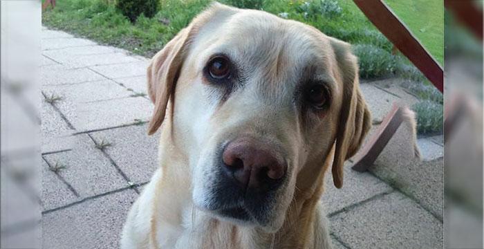 Labradorka Fiona