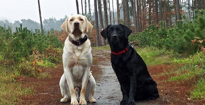 Labradory Henio i Dyzia