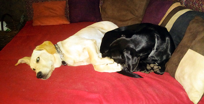 Labradory: Mamba i Buddy