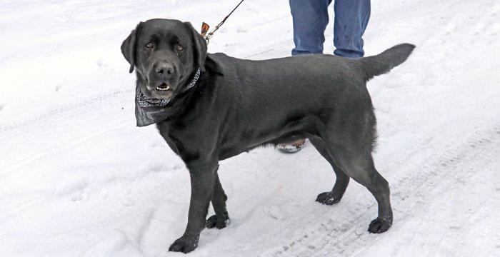 Labradorka z Andrespola