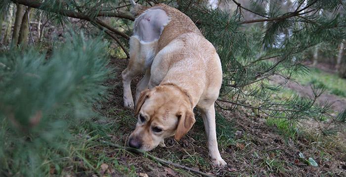 Gildia, labradorka w potrzebie