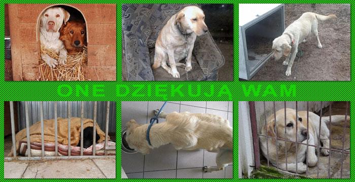 Labradory którym pomogliśmy