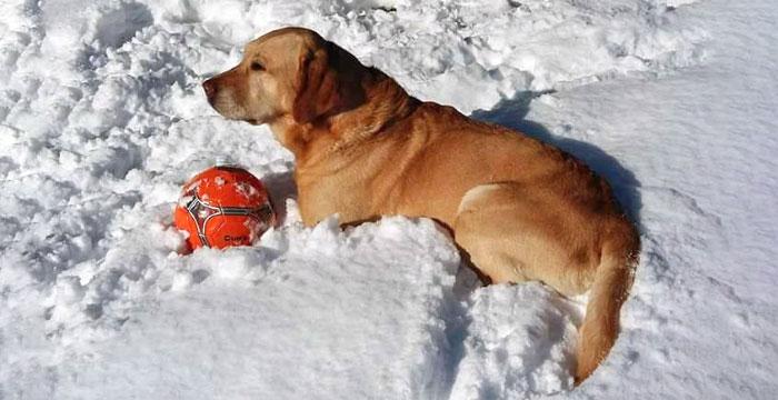 Labrador Tobo