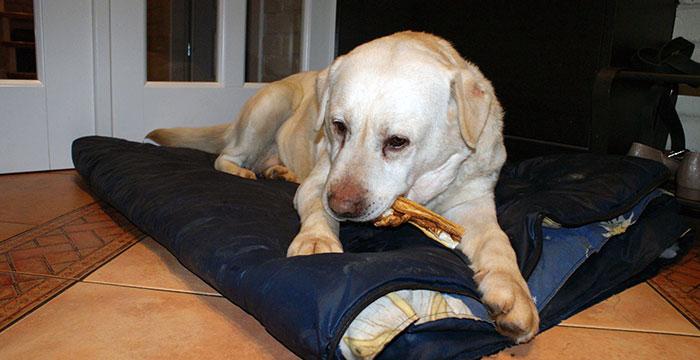 Yumi, labradorka do adopcji