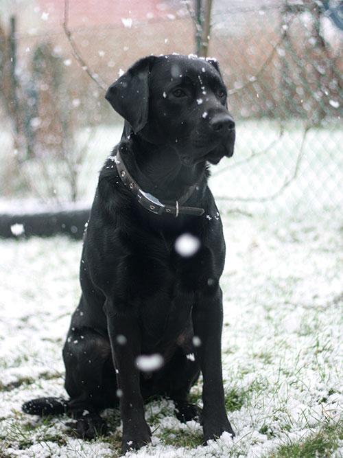 Labrador Dargo