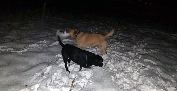 Labrador Diego