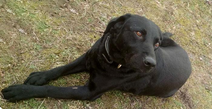 Nestor, labrador do adopcji