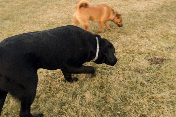 Labrador Bruno