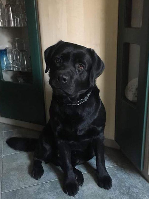 Drako, labrador do adopcji