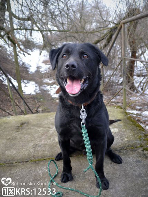 Benek, labrador do adopcji